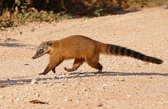 South American Coati (Nasua nasua) female crossing the road ... (28556930016).jpg
