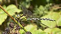 Southern Hawker dragonfly (10207663956).jpg