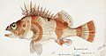 Southern Pacific fishes illustrations by F.E. Clarke 13.jpg