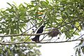 Spangled Drongo at nest (10635010546).jpg
