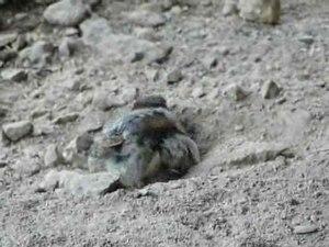 File:Spatz Sandbad im Zoo Teil2 10prozent.ogv
