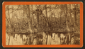 Spearing fish. Silver Springs, Fla, from Robert N. Dennis collection of stereoscopic views.png