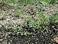 Spergularia rubra sl46.jpg