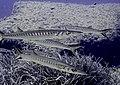 Sphyraena sphyraena (Barracudas) (22471310912).jpg