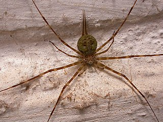 Tree trunk spider Family of spiders