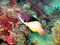 Splitlevel hogfish001.jpg