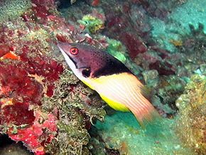 Description de l'image  Splitlevel hogfish001.jpg.