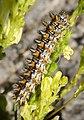 Spotted Fritillary Caterpillar. Melitaea didyma (31077002988).jpg