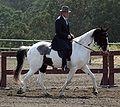 Spotted Saddle Horse2.jpg