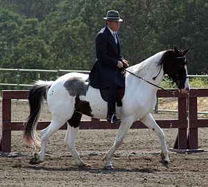 Spotted Saddle Horse - A Spotted Saddle Horse under English equipment