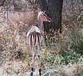 Springbock with threadworm eating bird on its back Kruger National Park.JPG