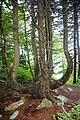 Spruce Knob - spruce tree 3.jpg