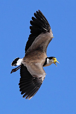Spur (zoology) - Masked lapwing (often called the Spur-winged Plover) in flight with wing spurs clearly visible on the leading edge of the wings.