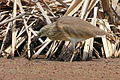 Squacco Heron, Ardeola ralloides at Marievale Nature Reserve, Gauteng, South Africa (15022501673).jpg