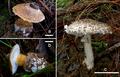 Squamanita orientalis (type) and Amanita sepiacea (Liu et al. 2020).png