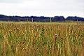 St-Peter-Dorf Salt marshes 25.08.2011 09-44-51.JPG