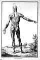 Standing male ecorche posterior view of musculature Wellcome L0018906.jpg