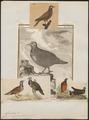 Starnoenas cyanocephala - 1700-1880 - Print - Iconographia Zoologica - Special Collections University of Amsterdam - UBA01 IZ15600255.tif