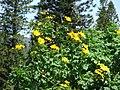 Starr-070403-6480-Tithonia diversifolia-flowering habit-Lanai City-Lanai (24860395386).jpg