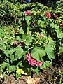 Starr-071024-9857-Dombeya x cayeuxii-cv Seminar or Pink Cloud flowering habit-Enchanting Floral Gardens of Kula-Maui (24801958901).jpg