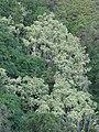 Starr-080314-3590-Aleurites moluccana-grove-West Maui-Maui (24906129545).jpg