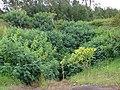 Starr-090519-8021-Tithonia diversifolia-habit-Kula-Maui (24862310651).jpg