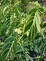 Starr-090601-8682-Senna gaudichaudii-flowers and leaves-Ulupalakua greenhouse-Maui (24867566261).jpg