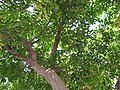 Starr-090813-4206-Cupaniopsis anacardioides-canopy-Kahului-Maui (24603872399).jpg