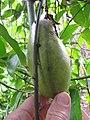 Starr-100803-8433-Strongylodon macrobotrys-fruit-Enchanting Floral Gardens of Kula-Maui (24418771723).jpg