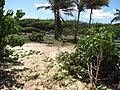 Starr-110312-6447-Thespesia populnea-after tsunami-Kanaha Beach-Maui (25053390696).jpg