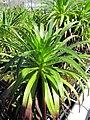 Starr-110524-5830-Argyroxiphium grayanum-in greenhouse-Haleakala National Park-Maui (24728387179).jpg