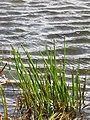 Starr-110929-9871-Eleocharis obtusa-habit in reservoir-Hanaula-Maui (24486818924).jpg
