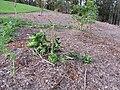 Starr-111116-1305-Citrus sinensis-Washington navel damaged by deer-Hawea Pl Olinda-Maui (25026853591).jpg