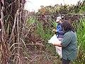 Starr-120620-7498-Cenchrus purpureus-purple bana grass with Kim and Pam-Kula Agriculture Station-Maui (24850124460).jpg