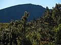 Starr-121015-0685-Leptecophylla tameiameiae-habit view Hanakauhi-Halemauu Trail HNP-Maui (25192882385).jpg