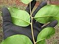 Starr-130320-3414-Cupaniopsis anacardioides-leaves-Nihoku Mokolea Pt Kilauea Pt NWR-Kauai (24841483439).jpg