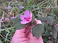 Starr-130321-3546-Urena lobata-flower and leaves-Hanalei NWR-Kauai (25091071552).jpg