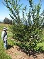 Starr-130809-2918-Prunus domestica subsp italica-Cv Green Gage habit with Forest-Kula-Maui (25141412432).jpg