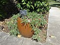Starr-170208-6807-Sesbania tomentosa-flowering fruiting habit in pot-Maui Nui Botanical Garden Kahului-Maui (32537895704).jpg