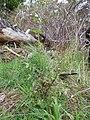 Starr-170225-0030-Sonchus oleraceus-flowering habit-Lower Waiohuli Trail Polipoli-Maui (32998706690).jpg