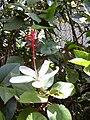 Starr 030523-0088 Hibiscus arnottianus subsp. arnottianus.jpg