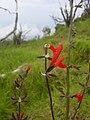 Starr 040327-0008 Salvia coccinea.jpg