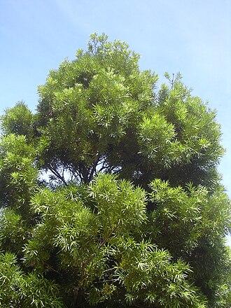 Podocarpus - Podocarpus neriifolius