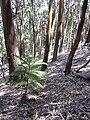 Starr 040812-0060 Araucaria columnaris.jpg