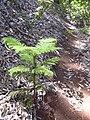 Starr 040812-0061 Araucaria columnaris.jpg