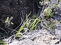 Starr 040813-0206 Dianella sandwicensis.jpg
