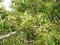 Starr 060429-9451 Nestegis sandwicensis.jpg