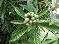 Starr 061205-1875 Eriobotrya japonica.jpg
