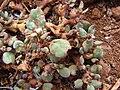 Starr 070221-4692 Trianthema portulacastrum.jpg