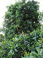 Starr 070321-5979 Norantea guianensis subsp. guianensis.jpg